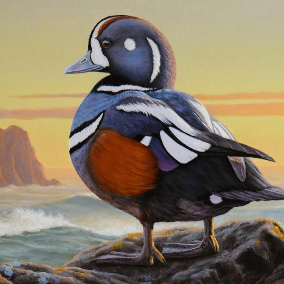 Harlequin Duck by Nathan Hager