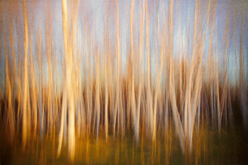 The Birch Grove, digital print with in camera motion by Don Kaddatz of Mora, MN